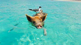 海で泳ぐ豚とそれにとまる小鳥