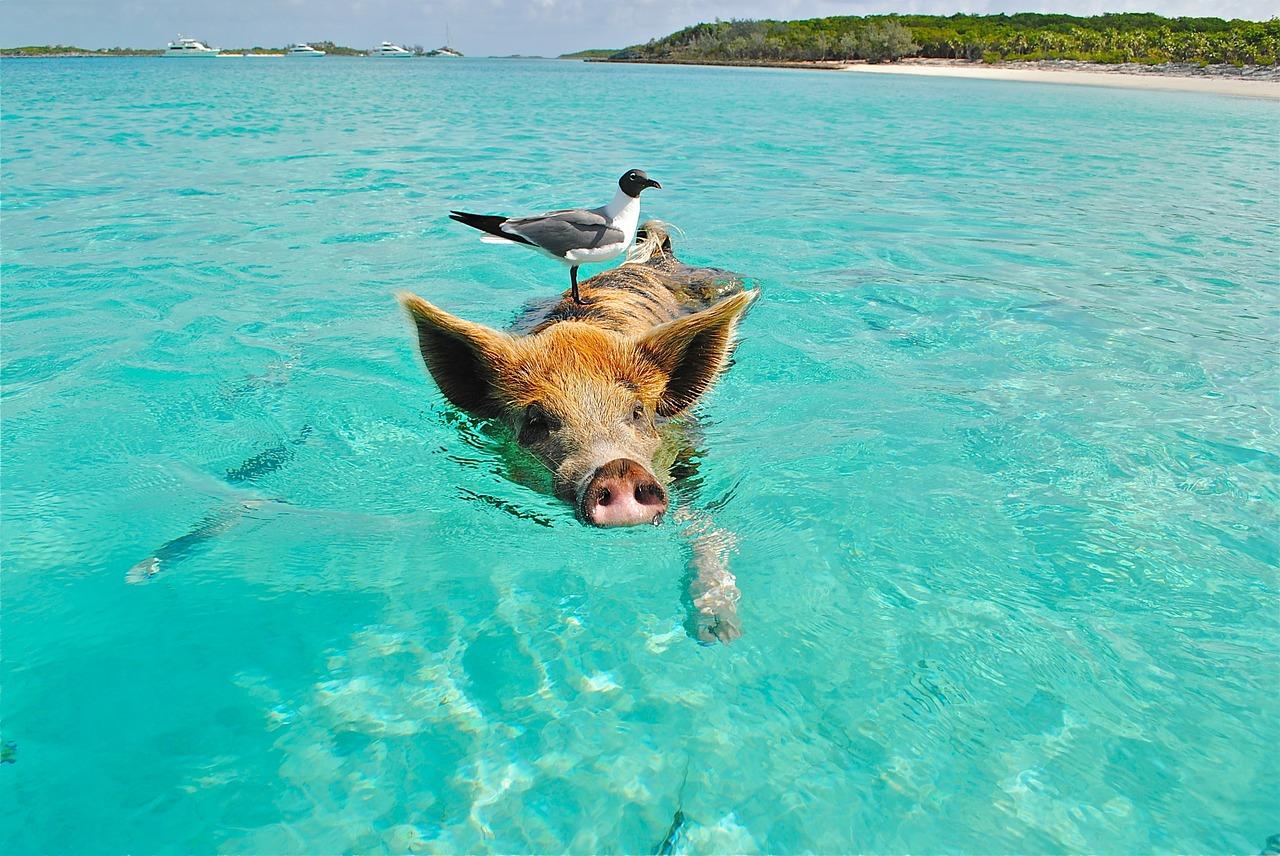 「ペットの豚を食べちゃった問題」を料理する-ミニ豚モリー事件の真実